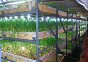 Выращивание лука на перо в теплице зимой как бизнес