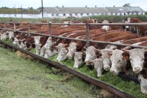 Коровья ферма как малий бизнес